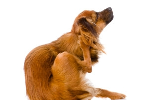 How many of your have itchy dogs?