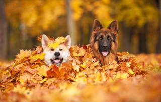 dog-in-leaves