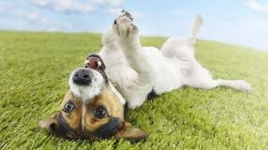 dog-rolling-grass